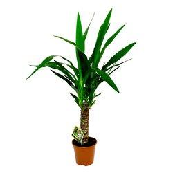 Комнатное растение Юкка в Санкт-Петербурге