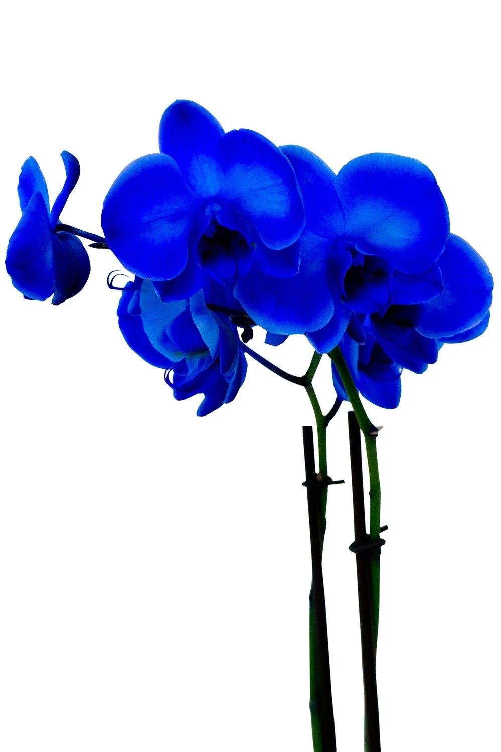 Голубая орхидея (2 ствола)
