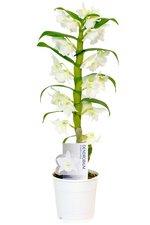 Орхидея Дендробиум Нобиле прекрасное украшение для любого интерьера.