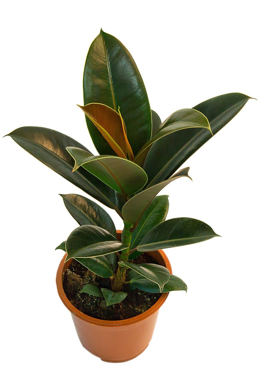 Неприхотливое комнатное растение будет радовать ярко-зеленой листвой круглый год.