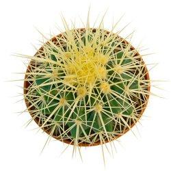 Любители кактусов оценят такой подарок.