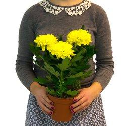 Хризантема как символ солнца, счастья и долголетия.