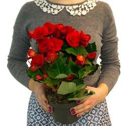 Комнатное растение с красными цветами. Не любит тепло.