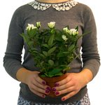 Если не любите срезанные цветы, то это хороший вариант комнатного растения в горшке
