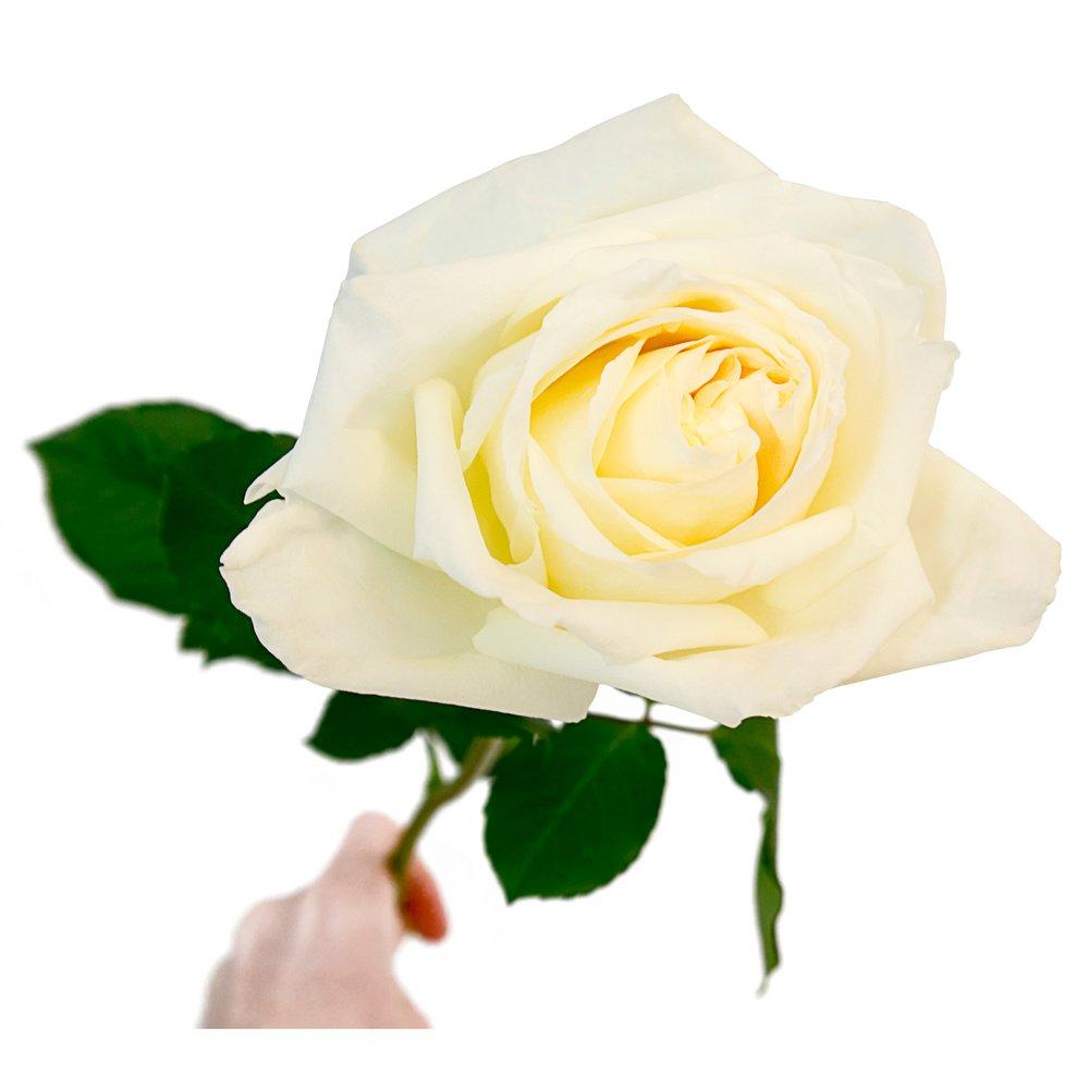 Кенийская пионовидная роза