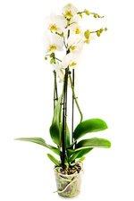 Белая орхидея в горшке - долго будет услаждать ваш взор
