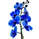 Фантастическая голубая орхидея, со временем становится белой