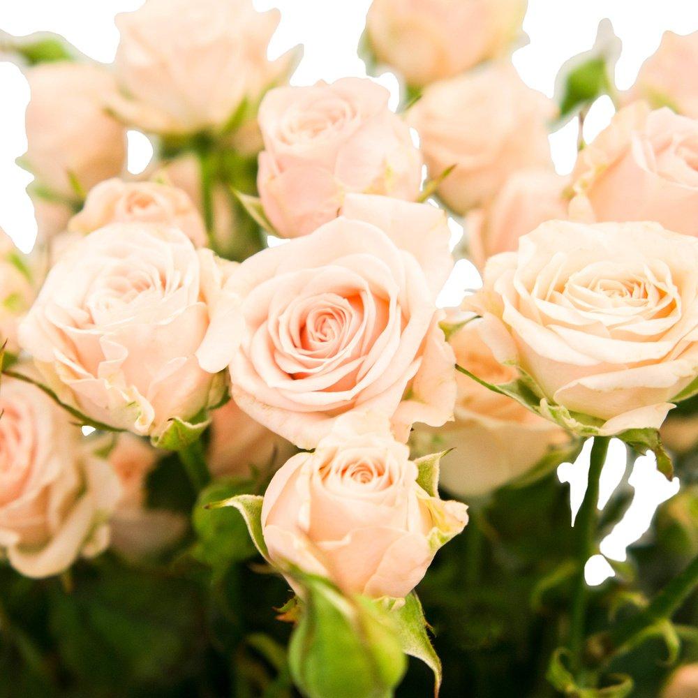 Роза кустовая персиковая