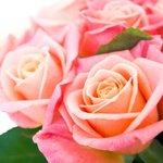 Прекрасные розы Мисс Пигги. Заказывайте с доставкой по СПб