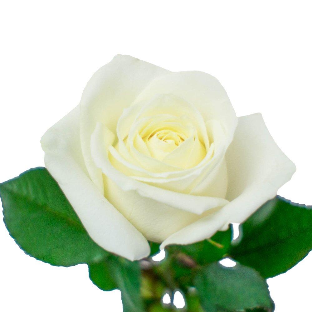 Розы белые 60 см. Россия