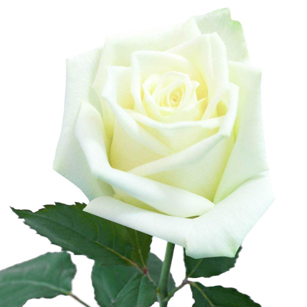 Заказывайте белоснежные розы высотой 60 см