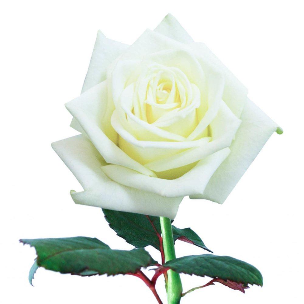 Розы белые 50 см. Россия
