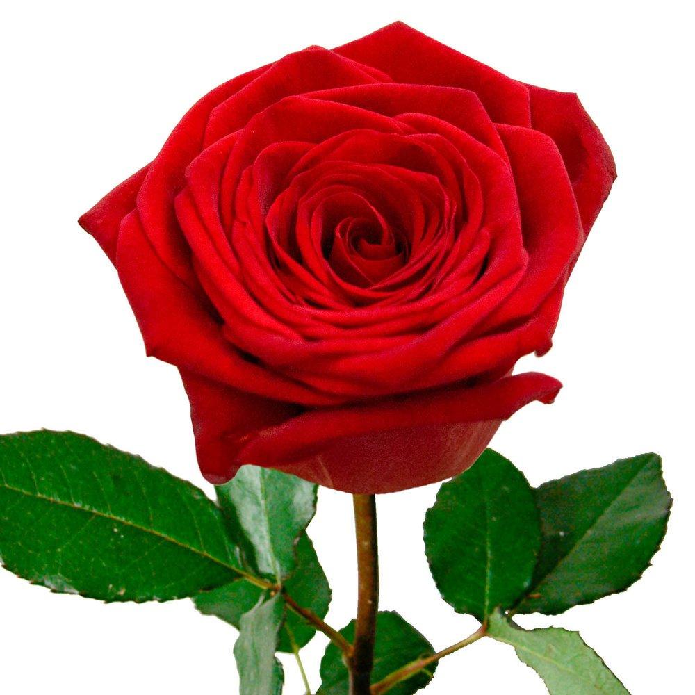 Розы красные 50 см. Россия