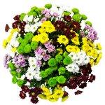 Букет из хризантем Сантини разноцветный микс в Санкт-Петербурге
