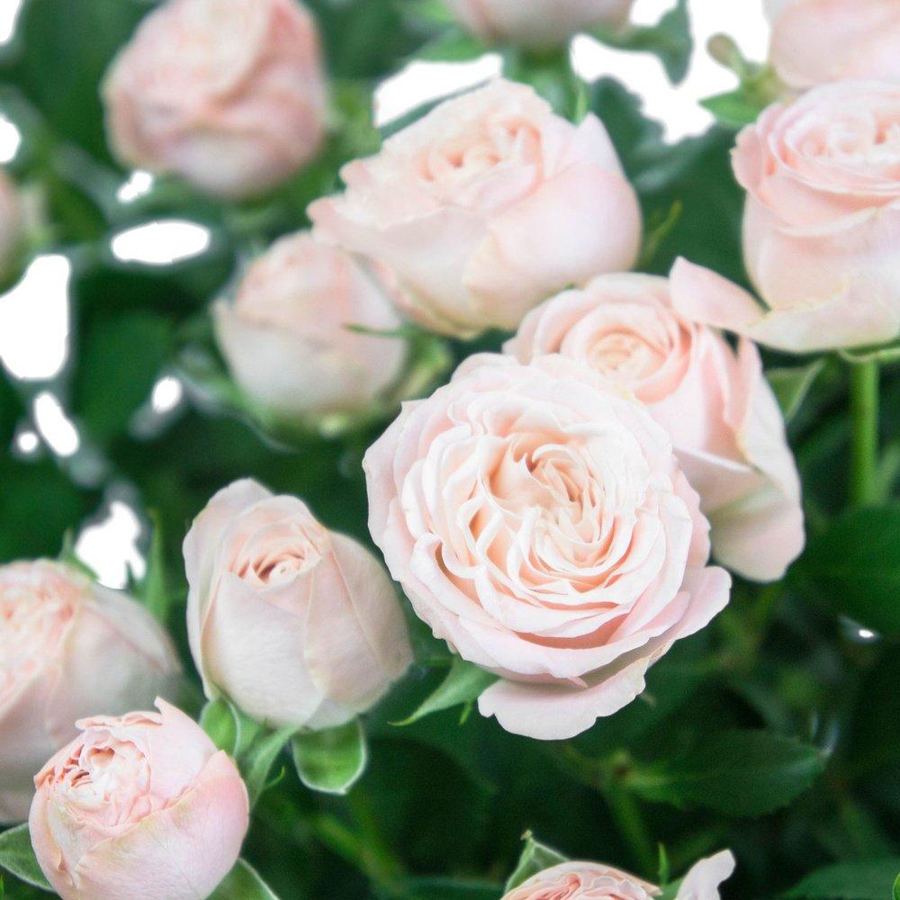 Кустовая пионовидная роза Бомбастик