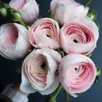 Букет розовых ранункулюсов в Санкт-Петербурге
