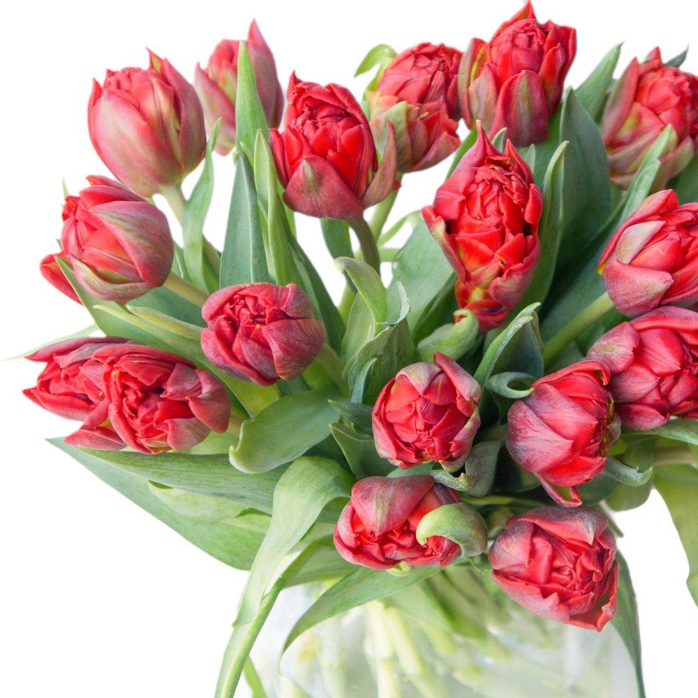 Красные пионовидные тюльпаны