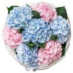 Букет из розовых и голубых гортензий в упаковке в Санкт-Петербурге