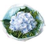 Голубая гортензия в упаковке в Санкт-Петербурге