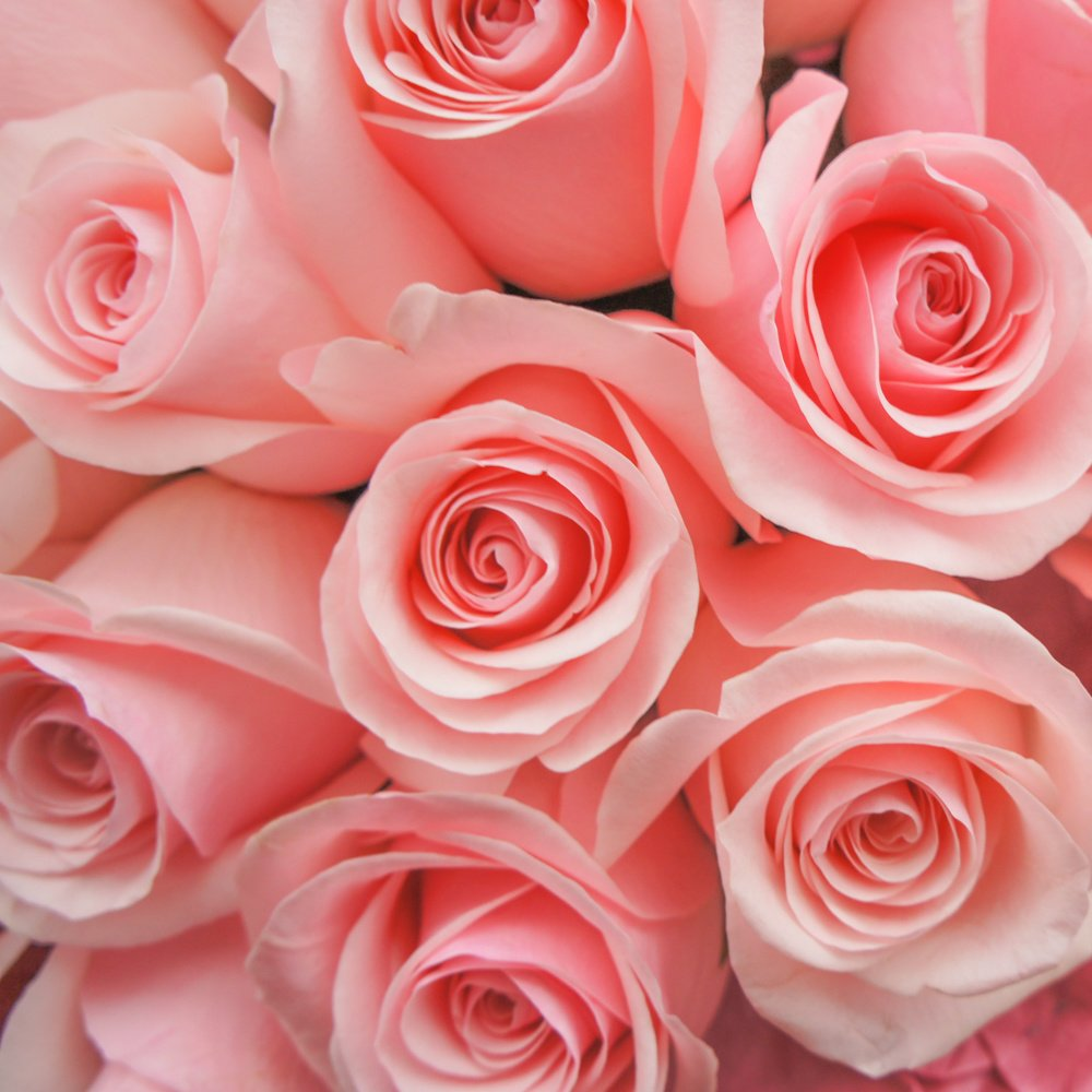картинки розы розового цвета все равно внешний