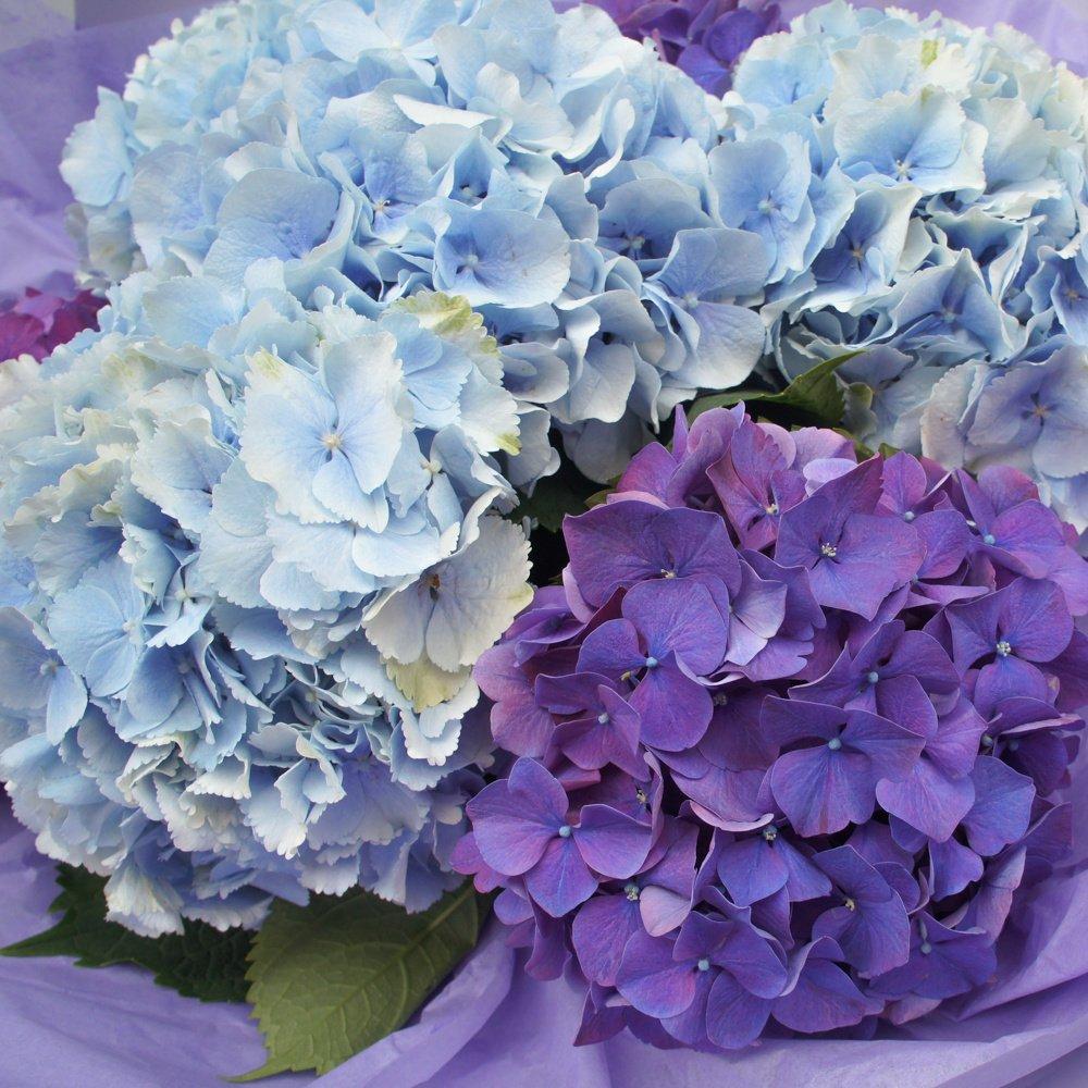 Гортензии микс: голубые и фиолетовые